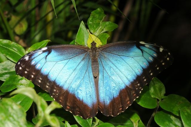 Adult peleides blue morpho, Morpho peleides, wings open. (Also known as the common morpho, or as The Emperor.) Credit: Thomas Bresson (CC BY 3.0)
