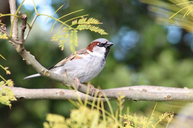 Male house sparrow, Passer domesticus. This bird is an invasive species that has been introduced throughout much of the world, where it is dependent upon the presence of humans. Image: Josie Galbraith.