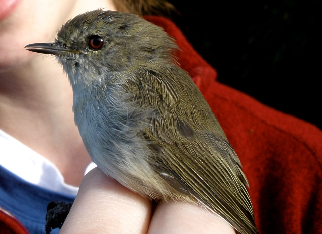 Adult grey warbler, Gerygone igata. Photograph: Tessa Galbraith (courtesy of Josie Galbraith).