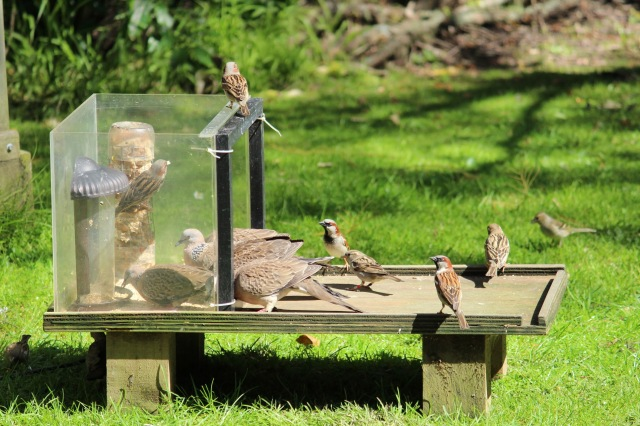 Figure 2: Spotted doves, Streptopelia chinensis, and house sparrows, Passer domesticus, crowding together at an experimental feeding station. These species are invasive and are not native to New Zealand. Photograph: Josie Galbraith.