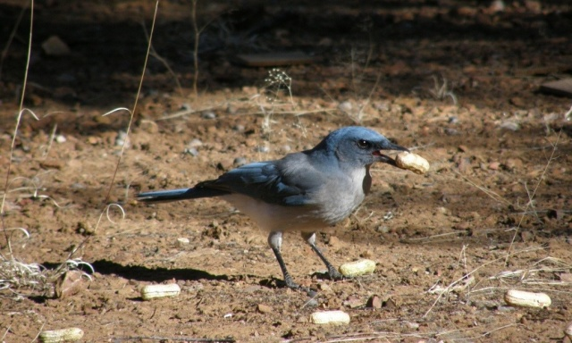 A Mexican jay, Aphelocoma wollweberi, appears to evaluate the content of a peanut by weighing it in its beak and by listening to the sound created when clicking its beak on the pod. (doi:10.1007/s10336-015-1193-6) Credit: Maciej Fuszara